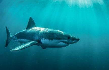 weiße Hai - Die 10 gefährlichsten Haie der Welt