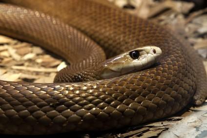Taipan - Die 10 giftigsten Tiere Australiens