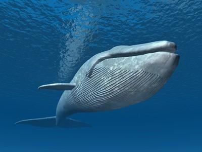 Blauwal - Die 10 größten Säugetiere der Welt