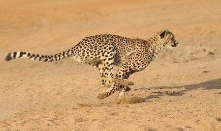 Gepard - Die 10 schnellsten Landtiere der Welt