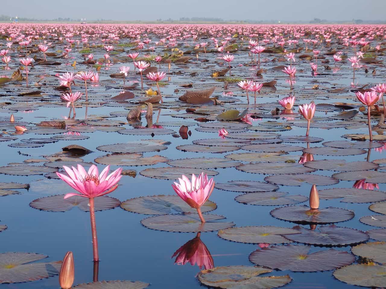 Die 10 besten Reiseziele von Thailand_Udon-Thani-red-lotus-sea