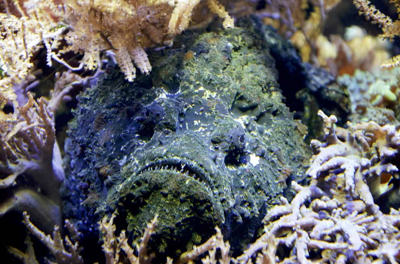 Die 10 giftigsten Meerestiere der Welt_Steinfisch