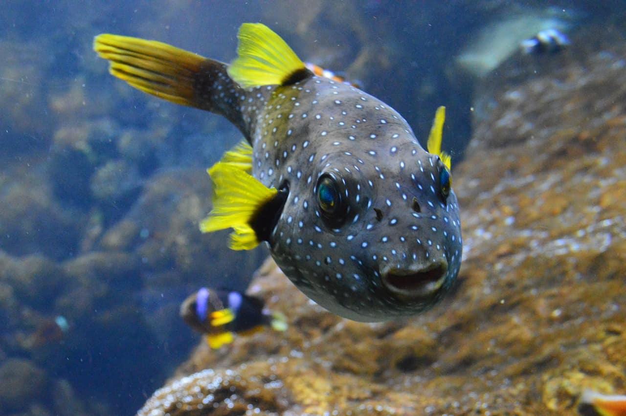 Die 10 giftigsten Meerestiere der Welt_kugelfisch